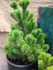 Winchester Mugo Pine