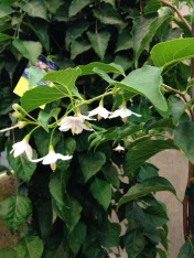 Marley's Pink Japanese Snowbell