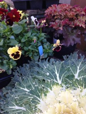 Pansies, Heuchera and Cabbage