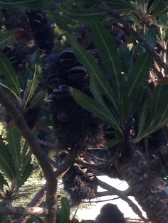Banksia woody seed cones