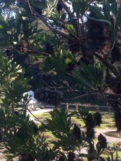 Banksia woody cones