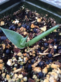 Young Agave