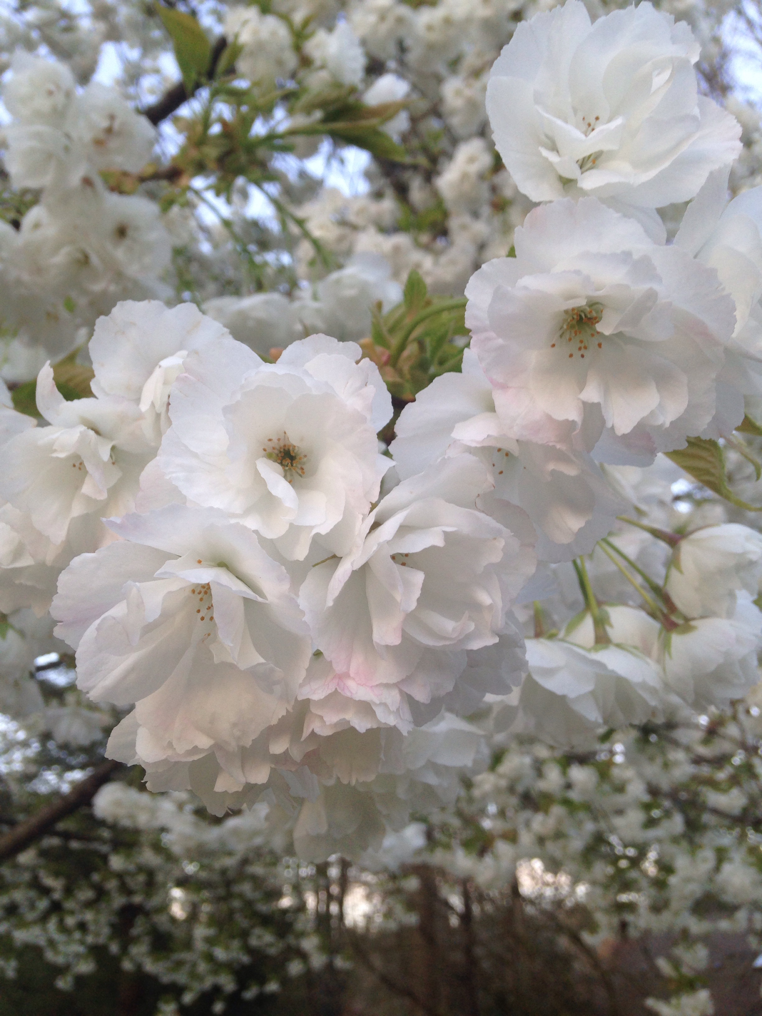 Mount fuji flowering cherrya tree for the moment rainyleaf the double pure white blossoms of the mount fuji flowering cherry opened last month and i knew that was my favorite tree it called to me on my walks and i mightylinksfo