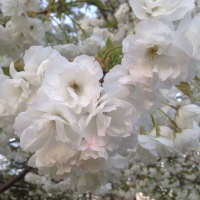 Mount Fuji Flowering Cherry--A Tree for the Moment