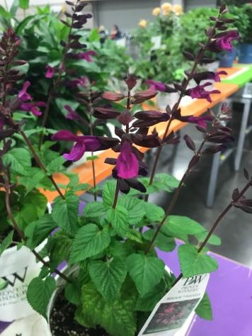 Rockin' Fuchsia Salvia