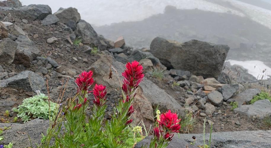 Castilleja parviflora